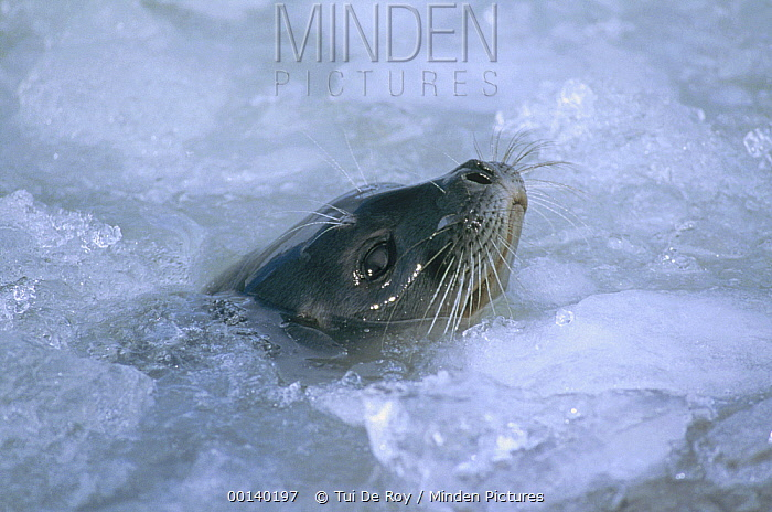 Ringed Seal (Phoca hispida) surfacing in brash ice, Svalbard, Norwegian Arctic  -  Tui De Roy