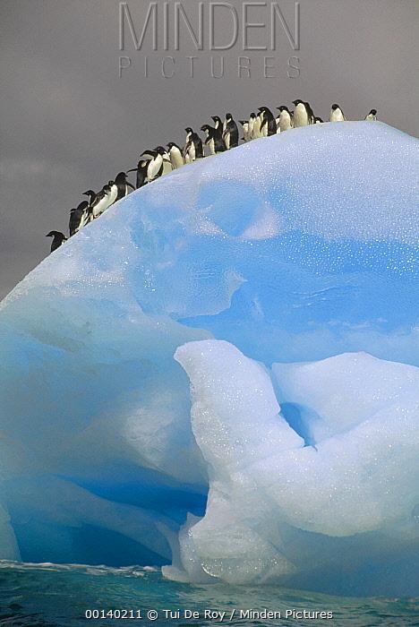 Adelie Penguin (Pygoscelis adeliae) group on iceberg, Laurie Island, South Orkney Islands, Antarctica  -  Tui De Roy