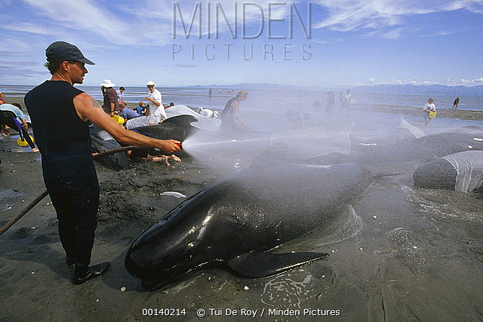 Long-finned Pilot Whale (Globicephala melas) kept cool with water from volunteers until high tide, Golden Bay, New Zealand  -  Tui De Roy