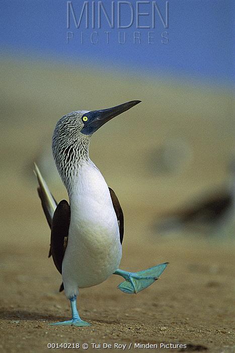 Blue-footed Booby (Sula nebouxii) courtship dance, Lobos De Tierra Island, Peru  -  Tui De Roy