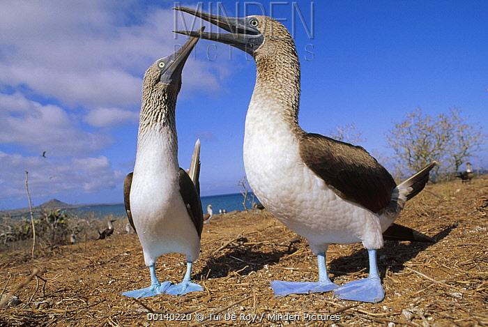 Blue-footed Booby (Sula nebouxii) couple courting in the dry season, Eden Island, Galapagos Islands, Ecuador  -  Tui De Roy