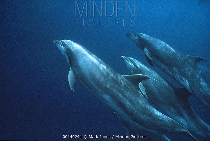 Bottlenose Dolphin (Tursiops truncatus) underwater group, Roca Redonda, Galapagos Islands, Ecuador  -  Mark Jones