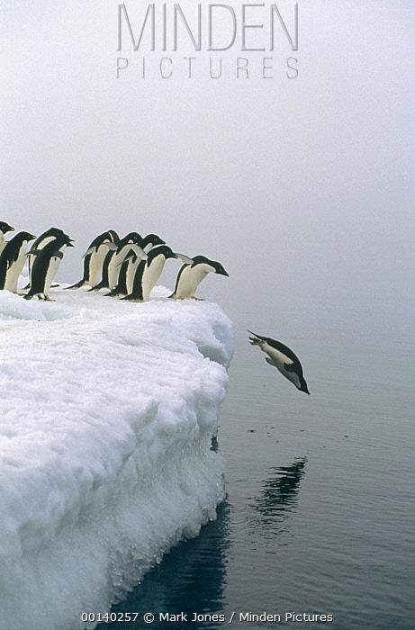 Adelie Penguin (Pygoscelis adeliae) group gathers for mass exodus for safety against Leopard Seals, Ross Sea, Antarctica  -  Mark Jones