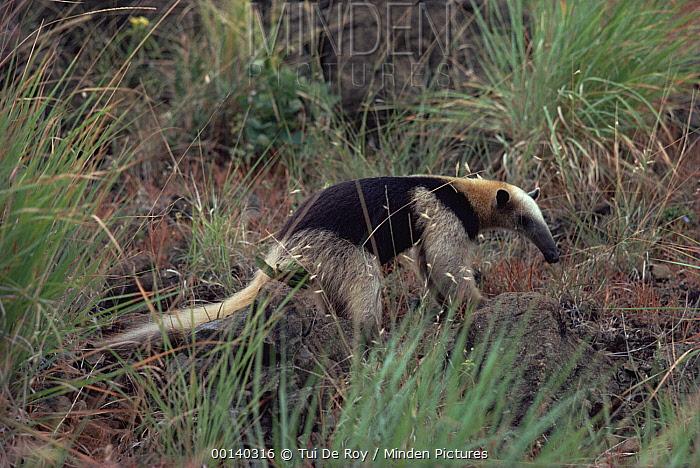 Southern Anteater (Tamandua tetradactyla) in semi-arid savannah habitat, Santa Rosa National Park, Costa Rica  -  Tui De Roy