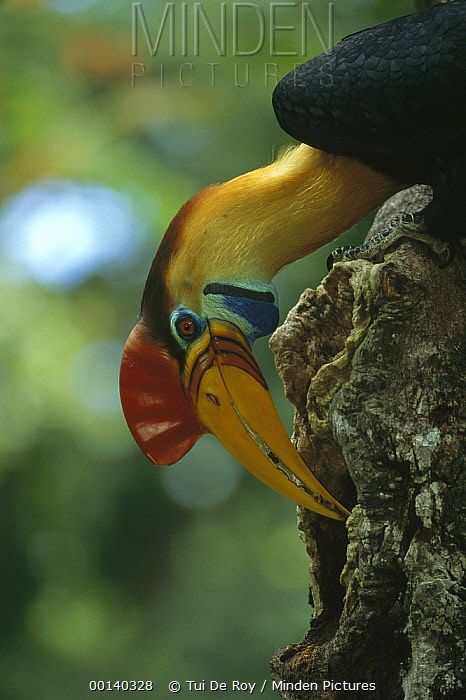 Sulawesi Red-knobbed Hornbill (Aceros cassidix) male delivering figs to female sealed inside hollow tree, Tangkoko-Dua Saudara Reserve, Sulawesi, Indonesia  -  Tui De Roy