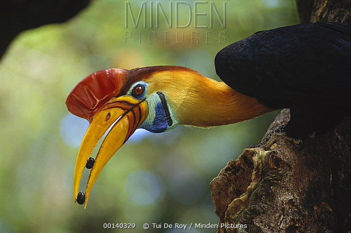 Sulawesi Red-knobbed Hornbill (Aceros cassidix) male delivering figs to female sealed inside hollow tree, Tangkoko-Dua Saudara Reserve, Indonesia  -  Tui De Roy