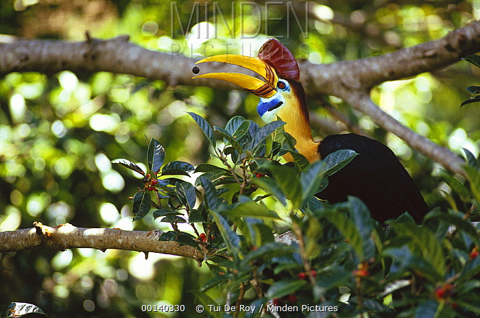 Sulawesi Red-knobbed Hornbill (Aceros cassidix) breeding male in a fruiting Fig (Ficus forsteni) tree, 32 meters above the ground in rainforest canopy, Tangkoko-Dua Saudara Nature Reserve, Sulawesi, Indonesia  -  Tui De Roy