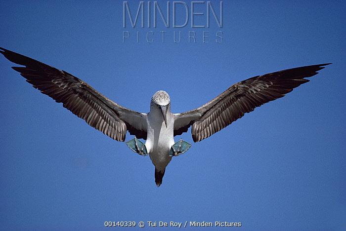 Blue-footed Booby (Sula nebouxii) courtship landing salute at nest site, Punta Vicente Roca, Isabella Island, Galapagos Islands, Ecuador  -  Tui De Roy