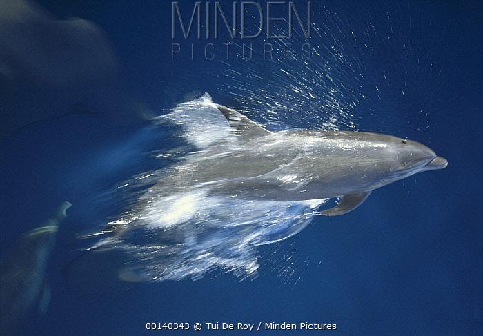 Bottlenose Dolphin (Tursiops truncatus) leaping playfully through calm inter-island seas, Hood Island, Galapagos Islands, Ecuador  -  Tui De Roy
