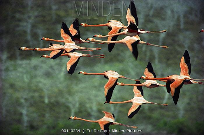 Greater Flamingo (Phoenicopterus ruber) group courtship flight over salt lagoon, Punta Cormorant, Floreana Island, Galapagos Islands, Ecuador  -  Tui De Roy