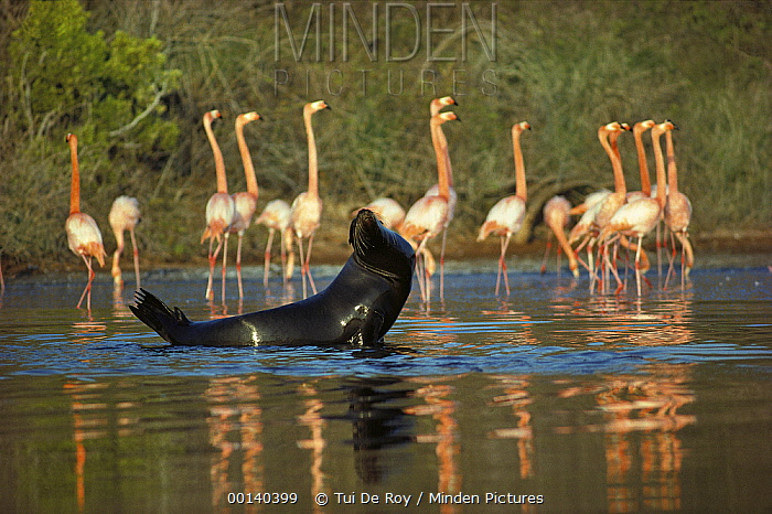 Greater Flamingo (Phoenicopterus ruber) group and Galapagos Sea Lion (Zalophus wollebaeki) sharing Salt Pond, Rabida Island, Galapagos Islands, Ecuador  -  Tui De Roy