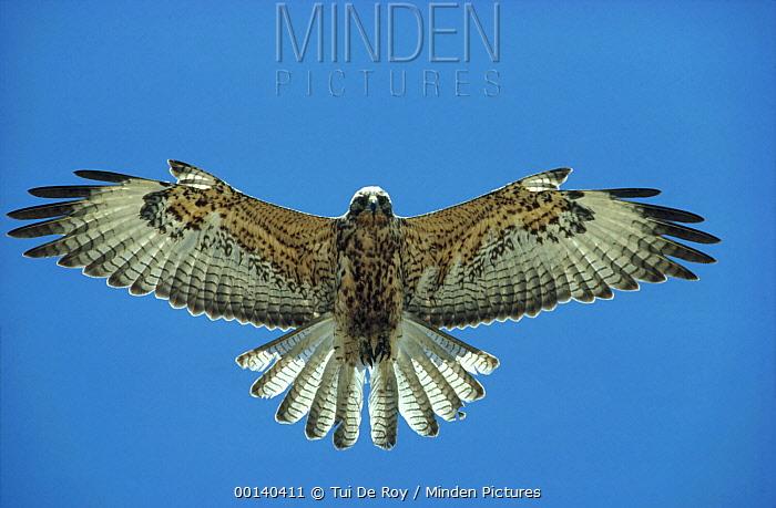 Galapagos Hawk (Buteo galapagoensis) flying, Fernandina Island, Galapagos Islands, Ecuador  -  Tui De Roy