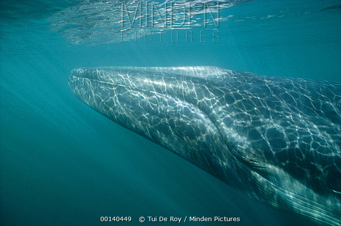 Fin Whale (Balaenoptera physalus) resident adult at winter feeding grounds, Sea of Cortez, Baja California, Mexico  -  Tui De Roy