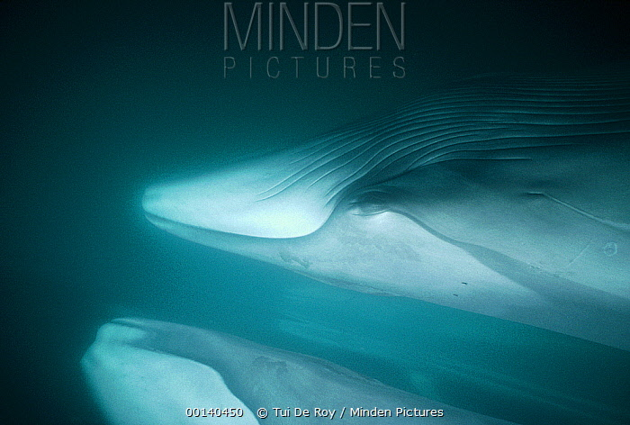 Fin Whale (Balaenoptera physalus) resident adults in winter feeding grounds, Sea of Cortez, Baja California, Mexico  -  Tui De Roy