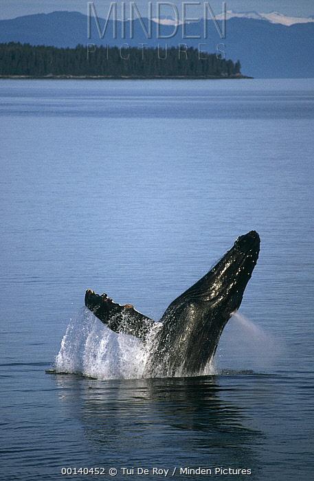 Humpback Whale (Megaptera novaeangliae) breaching in summer feeding grounds, Southeast Alaska  -  Tui De Roy