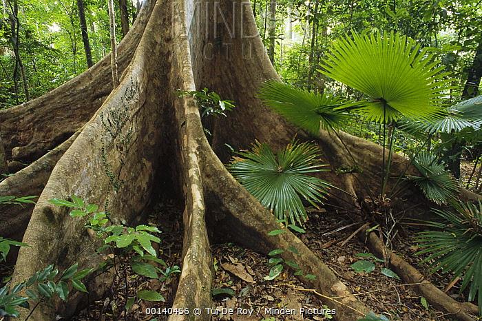 Woka Palm (Livingstonia rotundifolia) and buttress in lowland rainforest understory, Tangkoko-Dua Saudara Nature Reserve, Sulawesi, Indonesia  -  Tui De Roy