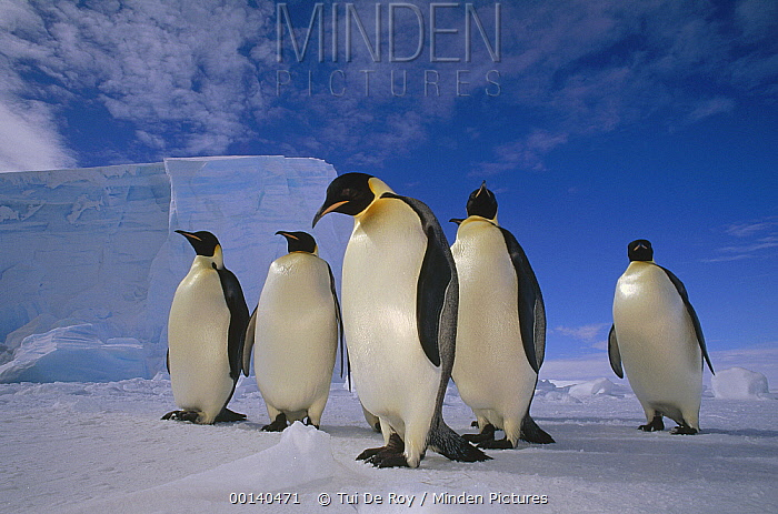 Emperor Penguin (Aptenodytes forsteri) group, near Ekstrom Ice Shelf, Weddell Sea, Antarctica  -  Tui De Roy