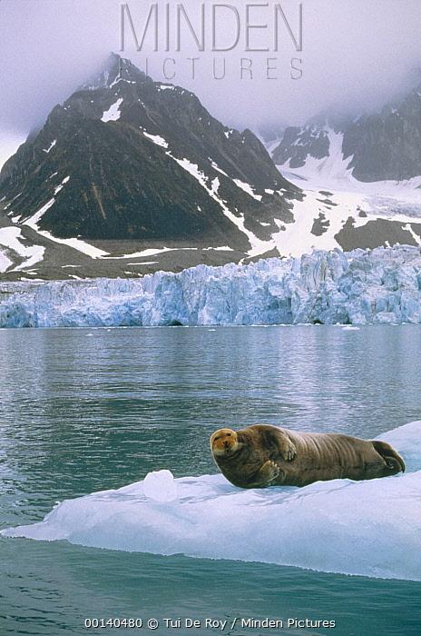 Bearded Seal (Erignathus barbatus) resting on ice floe near Wagon Way Glacier, Magdalenefjorden, Spitsbergen, Svalbard, Norwegian Arctic  -  Tui De Roy