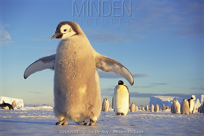 Emperor Penguin (Aptenodytes forsteri) large chick on fast ice, midnight sun in austral spring, No-name Rookery, Princess Martha Coast, Weddell Sea, Antarctica  -  Tui De Roy
