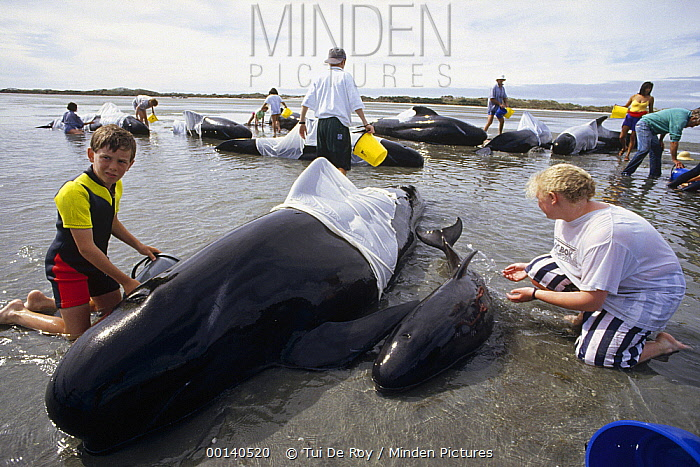 Long-finned Pilot Whale (Globicephala melas) stranded pod of 65, young volunteers comfort and cool a cow and tiny calf while waiting for rising tide, Golden Bay, New Zealand  -  Tui De Roy