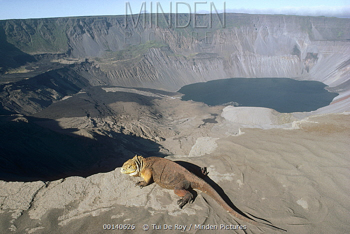 Galapagos Land Iguana (Conolophus subcristatus) female searching for descent route into 1, 000 meter active caldera to nest, Fernandina Island, Galapagos Islands, Ecuador  -  Tui De Roy