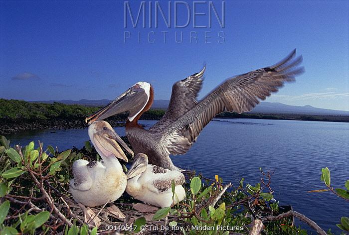 Brown Pelican (Pelecanus occidentalis) guarding chicks in Mangrove (Avicennia sp) nest, Turtle Bay, Santa Cruz Island, Galapagos Islands, Ecuador  -  Tui De Roy