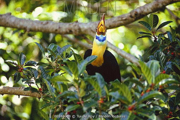 Sulawesi Red-knobbed Hornbill (Aceros cassidix) male in a fruiting fig (Ficus forsteni) tree, Tangkoko-Dua Saudara Nature Reserve, Sulawesi, Indonesia  -  Tui De Roy