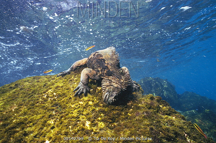 Marine Iguana (Amblyrhynchus cristatus) grazing on seaweed in wave washed shallows, Academy Bay, Santa Cruz Island, Galapagos Islands, Ecuador  -  Tui De Roy