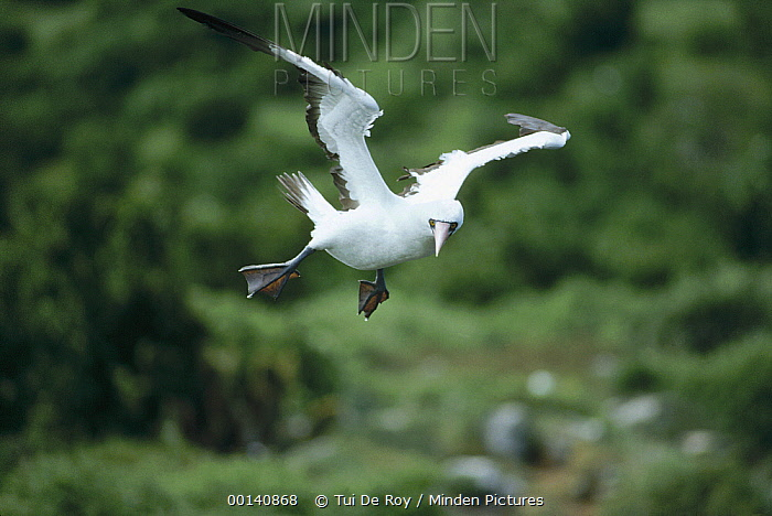 Masked Booby (Sula dactylatra) flying, coming to land on cliff edge, Wenman Island, Galapagos Islands, Ecuador  -  Tui De Roy