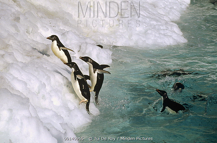 Adelie Penguin (Pygoscelis adeliae) group leaping ashore onto ice ledge, Foyn Island, Possession Islands, Ross Sea, Antarctica  -  Tui De Roy