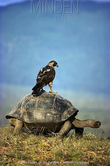 Volcan Alcedo Giant Tortoise (Chelonoidis vandenburghi) Galapagos Hawk (Buteo galapagoensis) riding on back, Alcedo Volcano, Isabella Island, Galapagos Islands, Ecuador  -  Tui De Roy