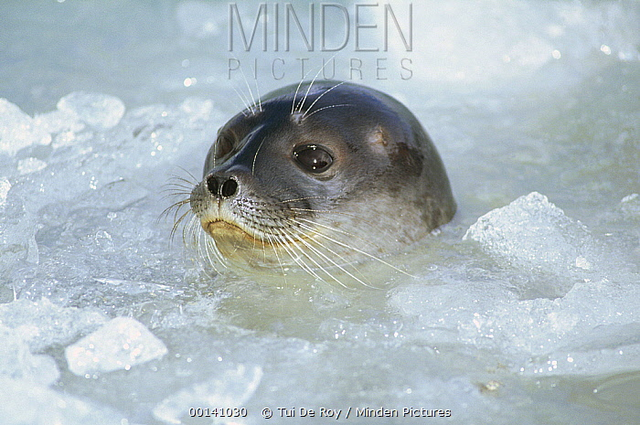 Ringed Seal (Phoca hispida) surfacing in brash ice, Svalbard Archipelago, Norwegian Arctic  -  Tui De Roy