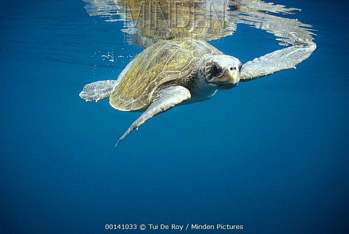 Olive Ridley Sea Turtle (Lepidochelys olivacea) swimming in open water, Galapagos Islands, Ecuador  -  Tui De Roy