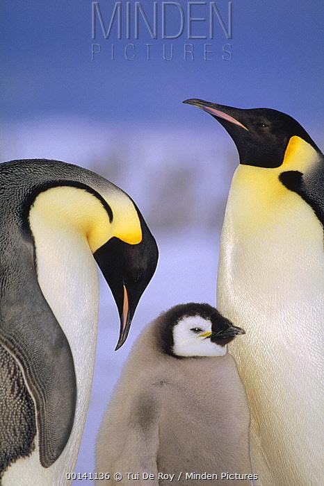 Emperor Penguin (Aptenodytes forsteri) pair with chick, Atka Bay, Princess Martha Coast, Weddell Sea, Antarctica  -  Tui De Roy