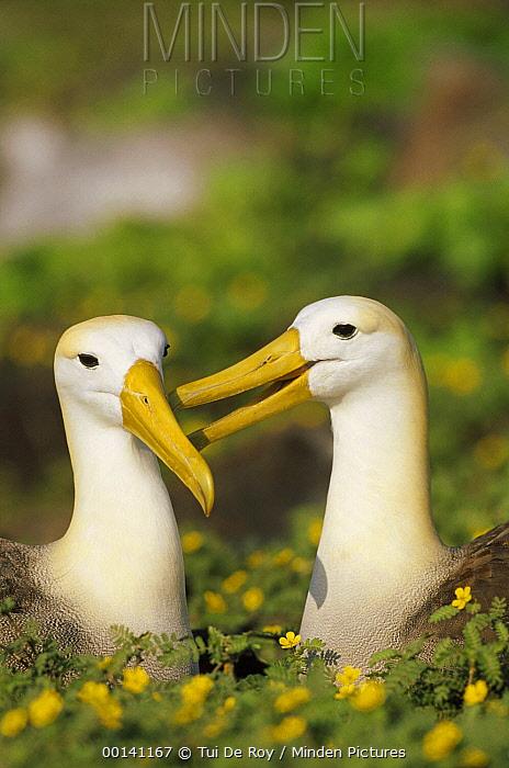 Waved Albatross (Phoebastria irrorata) pair bonding in flowering tribulus field during rains, Punta Cevallos, Espanola Island, Galapagos Islands, Ecuador  -  Tui De Roy