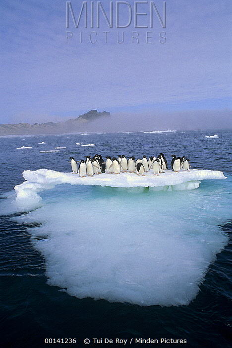 Adelie Penguin (Pygoscelis adeliae) group crowding on melting summer ice floe, Possession Island, Ross Sea, Antarctica  -  Tui De Roy