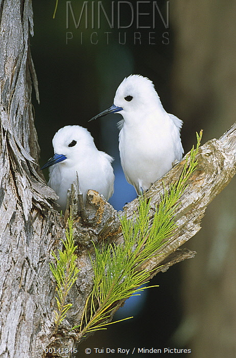 White Tern (Gygis alba) pair establishing egg laying site on bare branch of Casuarina tree, Midway Atoll, Hawaii  -  Tui De Roy