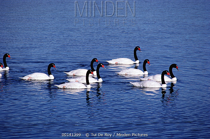 Black-necked Swan (Cygnus melancoryphus) group swimming, Puerto Natales, Chilean Fjords, Chile  -  Tui De Roy