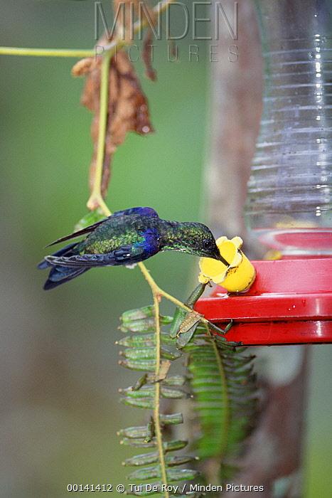 Green-crowned Woodnymph (Thalurania fannyi) hummingbird male feeding from feeder, western Andes cloud forest, Maquipucuna Reserve, Ecuador  -  Tui De Roy