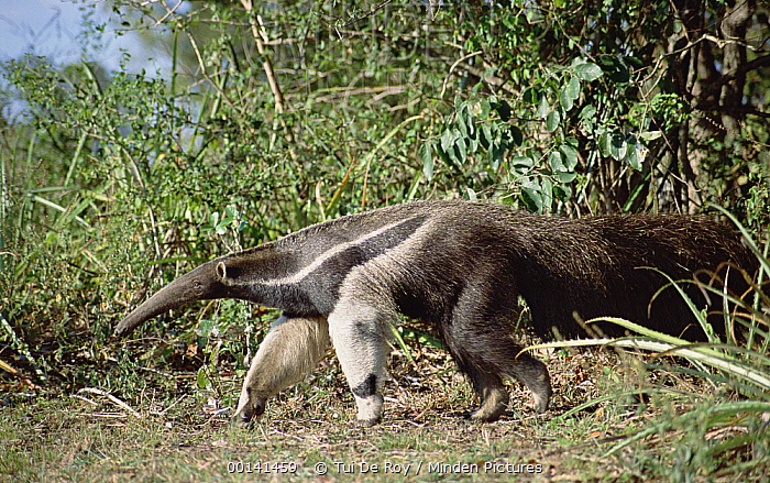Giant Anteater (Myrmecophaga tridactyla), Pantanal, Brazil  -  Tui De Roy