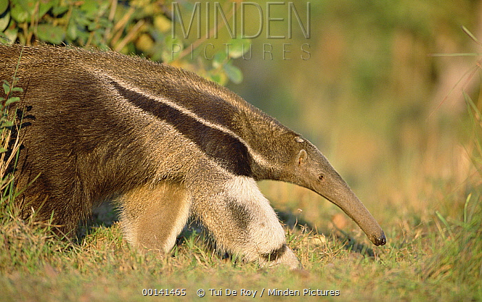 Giant Anteater (Myrmecophaga tridactyla) eating, Pantanal, Brazil  -  Tui De Roy