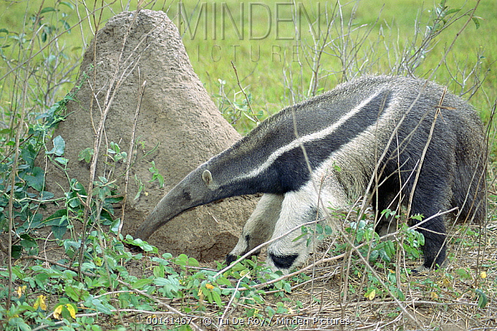 Giant Anteater (Myrmecophaga tridactyla) looking for food, Pantanal, Brazil  -  Tui De Roy