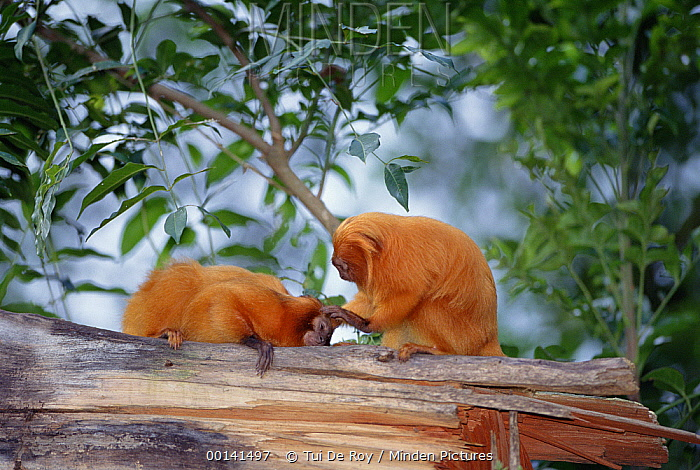 Golden Lion Tamarin (Leontopithecus rosalia) grooming each other, Atlantic Forest, Brazil  -  Tui De Roy