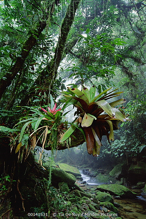 Bromeliads growing in trees along stream in Bocaina National Park, Atlantic Forest, Brazil  -  Tui De Roy