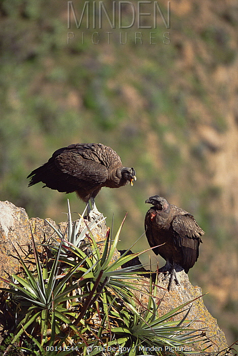 Andean Condor (Vultur gryphus) juvenile male pair socializing on cliff edge, Colca Canyon, Peru  -  Tui De Roy