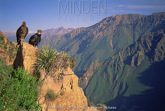 Andean Condor (Vultur gryphus) pair basking in the morning sun, overlooking 3,400-meter-deep Colca Canyon, Peru  -  Tui De Roy