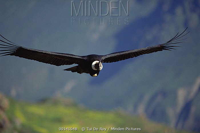 Andean Condor (Vultur gryphus) male riding thermal updraft over 3,400-meter-deep Colca Canyon, Peru  -  Tui De Roy
