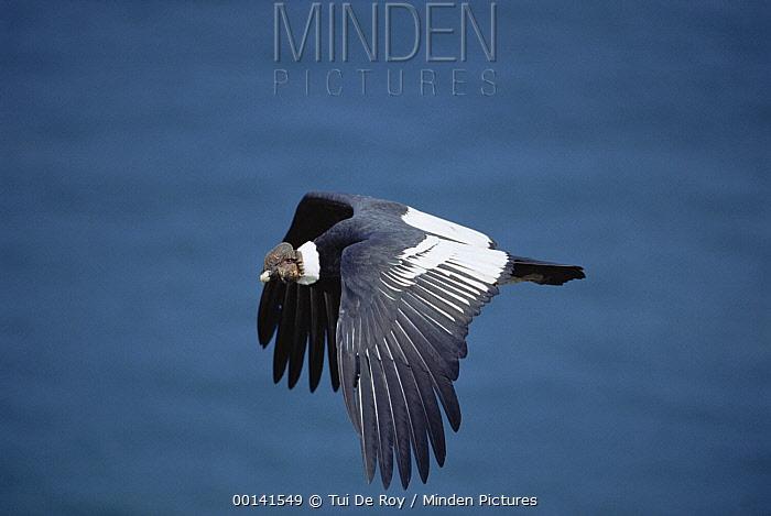 Andean Condor (Vultur gryphus) male soaring over desert coast, Paracas Reserve, Peru  -  Tui De Roy