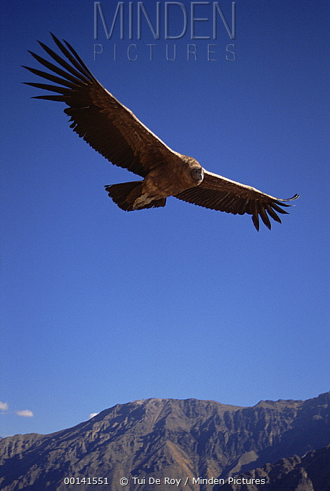 Andean Condor (Vultur gryphus) juvenile riding thermal updraft over 3,400-meter-deep Colca Canyon, Peru  -  Tui De Roy