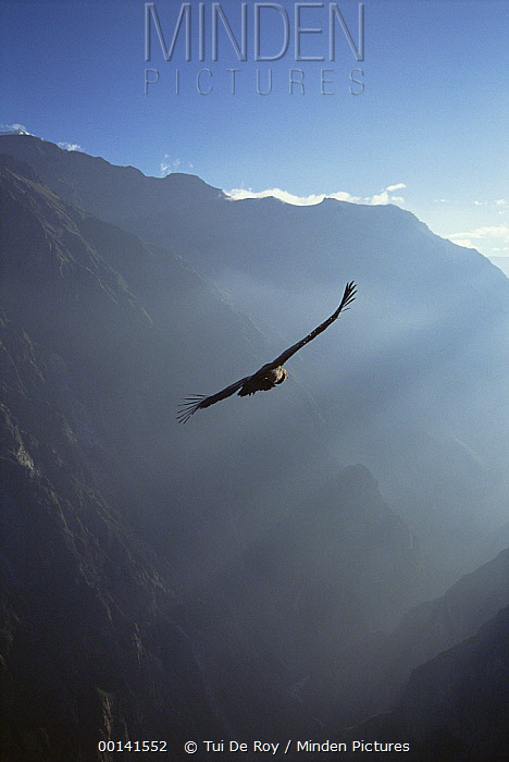 Andean Condor (Vultur gryphus) soaring on thermal updraft over 3,400-meter-deep Colca Canyon, Peru  -  Tui De Roy